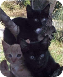 Domestic Shorthair Cat for Sale in Harrisburg, North Carolina - Robert