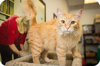 Domestic Mediumhair Cat for Sale in Chandler, Arizona - Ginger