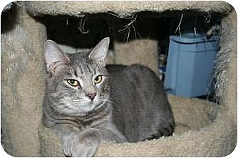 Domestic Shorthair Cat for adoption in SantaRosa, California - Stewart
