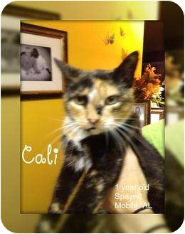 Calico Cat for Sale in Mobile, Alabama - Cali