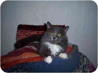 Domestic Mediumhair Cat for Sale in Proctor, Minnesota - Sabrina