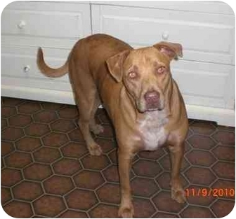American Bulldog/Labrador Retriever Mix Dog for adoption in MONTICELLO ...