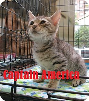 Domestic Shorthair Kitten for adoption in New York, New York - Captain America