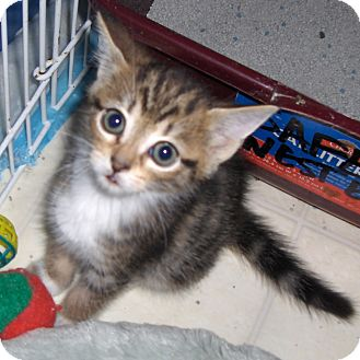 Domestic Shorthair Kitten for Sale in Richmond, Virginia - Brody