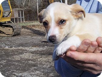 Chihuahua Mix Puppy for Sale in Germantown, Maryland - Chi Chi