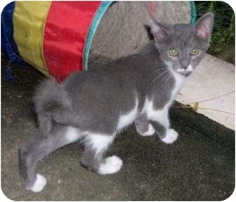 American Shorthair Cat for adoption in Cocoa, Florida - Curly