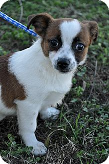 Chihuahua Mix Puppy for Sale in Glastonbury, Connecticut - Chico~adopted~