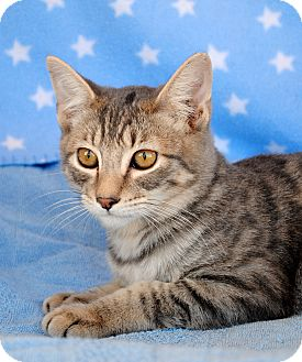 Domestic Shorthair Kitten for Sale in Palmdale, California - Hunter