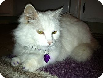 Turkish Angora Cat for Sale in Vacaville, California - Duchess