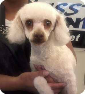 Poodle (Miniature)/Bichon Frise Mix Dog for Sale in Fresno, California - Monique