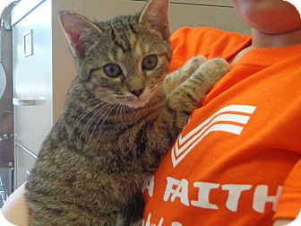 Domestic Shorthair Cat for adoption in Crawfordville, Florida - Maude
