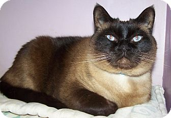 Siamese Cat for Sale in Grants Pass, Oregon - Earl Scrugsley