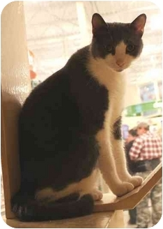 Domestic Shorthair Cat for adoption in Smyrna, Tennessee - (CL) Wilhelm