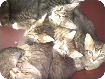 Domestic Shorthair Kitten for Sale in Harrisburg, North Carolina - Heidi's kittens
