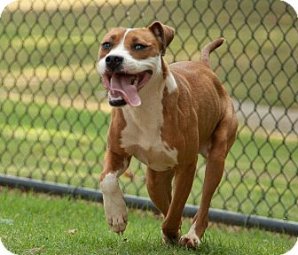 Boxer Mix Dog for adption in Christiana, Tennessee - Brooklyn