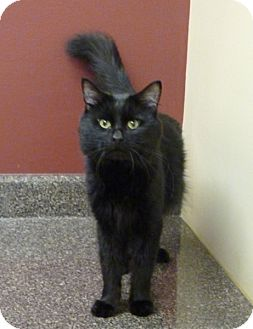 Domestic Mediumhair Cat for Sale in Chicago, Illinois - Eduardo