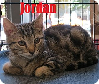 American Shorthair Kitten for adoption in New York, New York - Jordan