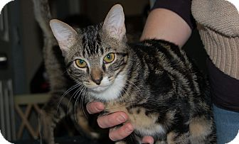 Domestic Shorthair Kitten for adoption in Mesa, Arizona - Indy