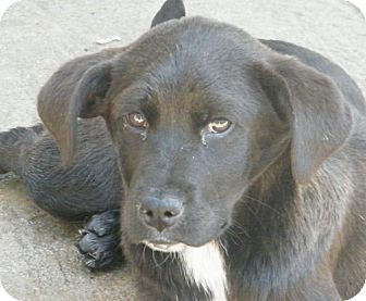 Labrador Retriever Mix Puppy for adption in manasquam, New Jersey - Chelsea adoption fee reduced