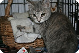American Shorthair Kitten for Sale in Spring Valley, New York - Bopeep