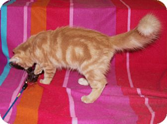 Maine Coon Kitten for Sale in Scottsdale, Arizona - Hawk