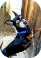 Dachshund Mix Dog for Sale in Irvine, California - Ty