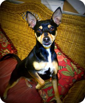 Miniature Pinscher Dog for Sale in Gadsden, Alabama - Mister