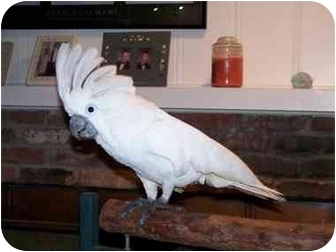Cockatoo for adoption in Tampa, Florida - Jacob