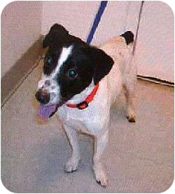 Jack Russell Terrier Dog for adption in Oklahoma City, Oklahoma - Pharoah