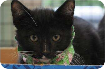 Domestic Shorthair Kitten for adoption in New York, New York - Ang
