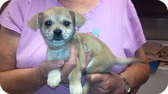 Chihuahua Mix Puppy for Sale in Hazard, Kentucky - Wiley