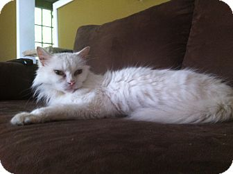 Domestic Mediumhair Cat for Sale in Emsdale (Huntsville), Ontario - Stella - Total sweetheart!