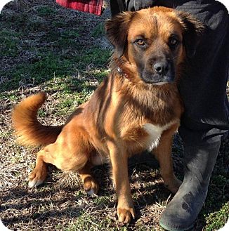 Shepherd (Unknown Type)/Retriever (Unknown Type) Mix Dog for adption in Russellville, Kentucky - Doug