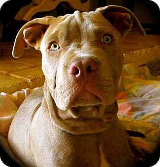 Neapolitan Mastiff/American Pit Bull Terrier Mix Puppy for adoption in