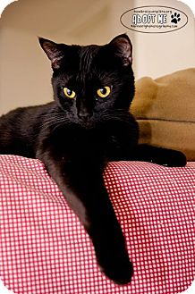Domestic Shorthair Cat for Sale in Columbia, Maryland - Trixie