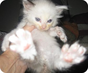 Ragdoll Kitten for Sale in Dallas area, Texas - Darlin