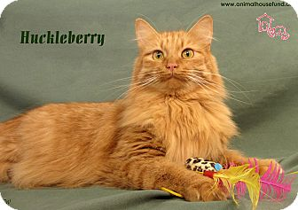 Domestic Longhair Cat for Sale in St Louis, Missouri - Huckleberry