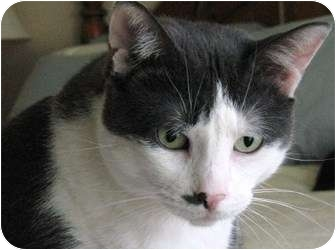 Domestic Shorthair Cat for adoption in Richmond Hill, Ontario - Chase