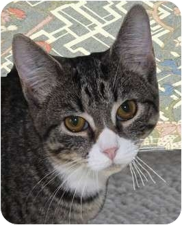 Domestic Shorthair Cat for adoption in Morganton, North Carolina - Agatha
