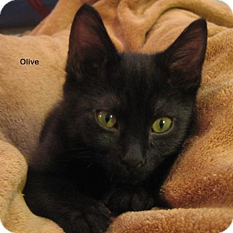 Domestic Shorthair Kitten for Sale in Portland, Oregon - Olive
