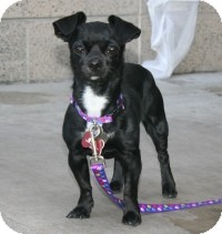 Chihuahua/Pug Mix Dog for Sale in Scottsdale, Arizona - Pepper