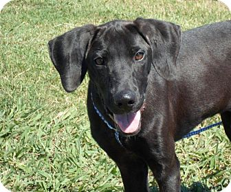 Looking for a Labrador Retriever/Great Dane puppy in Glastonbury for