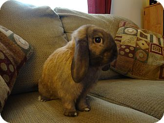 Lop, Holland Mix for Sale in Pittsburgh, Pennsylvania - Winston