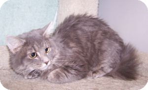 Domestic Mediumhair Cat for Sale in Colorado Springs, Colorado - K-Angie2-Hope