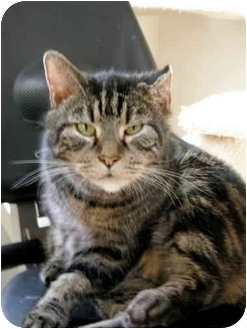 Domestic Shorthair Cat for adoption in Fort Bragg, California - Captain