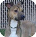 Boxer/Greyhound Mix Dog for Sale in Lincolnton, North Carolina - Bambi