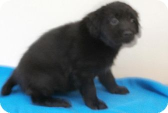 Labrador Retriever/Cocker Spaniel Mix Puppy for Sale in Laingsburg, Michigan - Jonas
