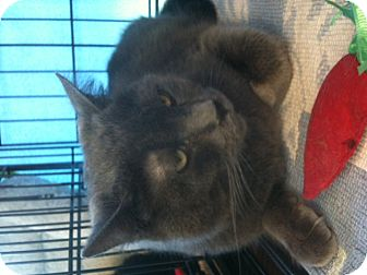 Russian Blue Cat for Sale in West Dundee, Illinois - Pirate