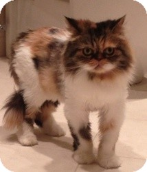 Persian Cat for Sale in Beverly Hills, California - Bitsy