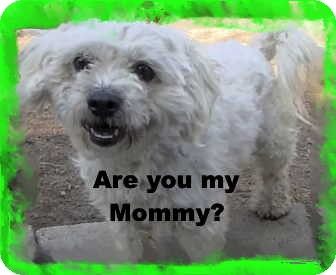 Maltese/Poodle (Miniature) Mix Dog for Sale in Pasadena, California - The little Kisser